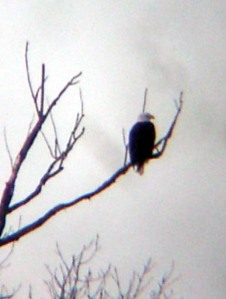 Bald Eagle on Sugar Creek